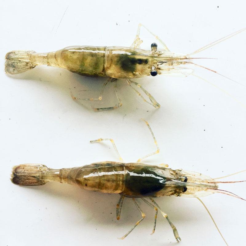 Small shrimps